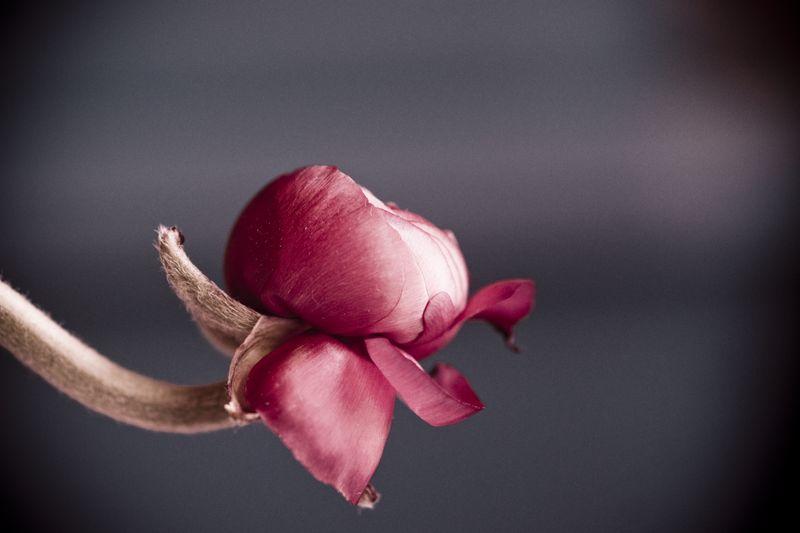 Ranunculus-07649